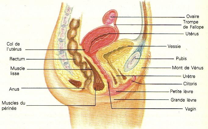 1 4 1 Anatomie Et Fonctionnement Des Systemes Reproducteurs