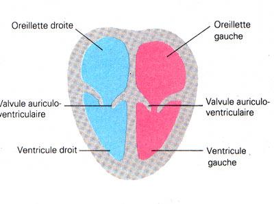 dessin système digestif