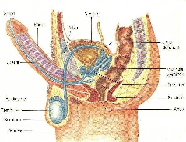 1 7 comment cr e t on un nouvel tre vivant for L interieur du vagin
