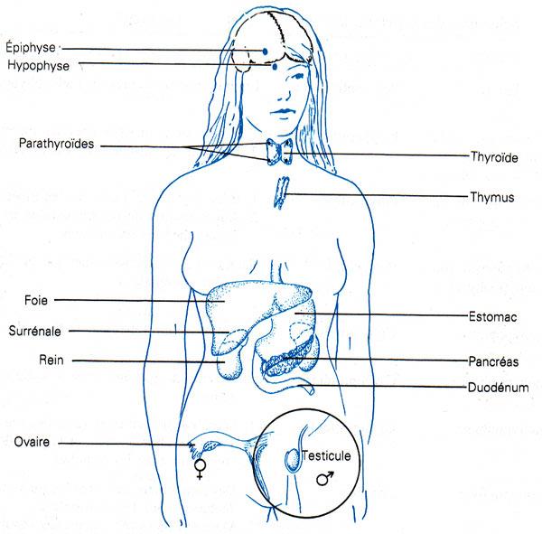 coeur organe ou muscle